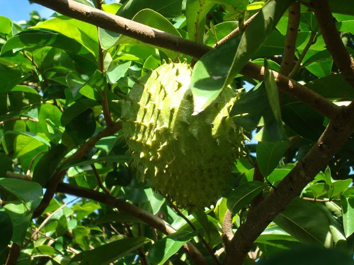 Anticancer graviola leafs